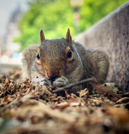 squirrel-in-dc_18693592666_o